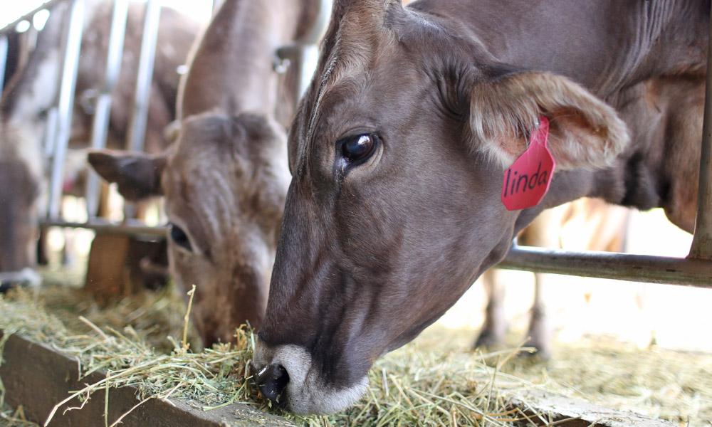 Linda the cow gold creek farms
