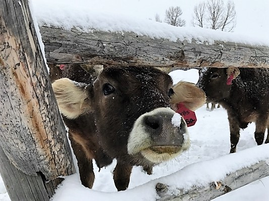 Lisa brown swiss cow