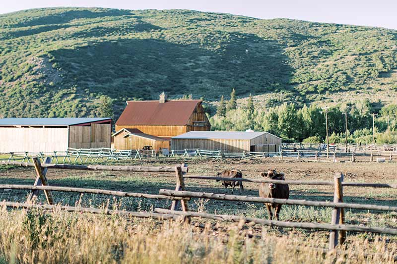cows at Gold Creek Farms Ranch