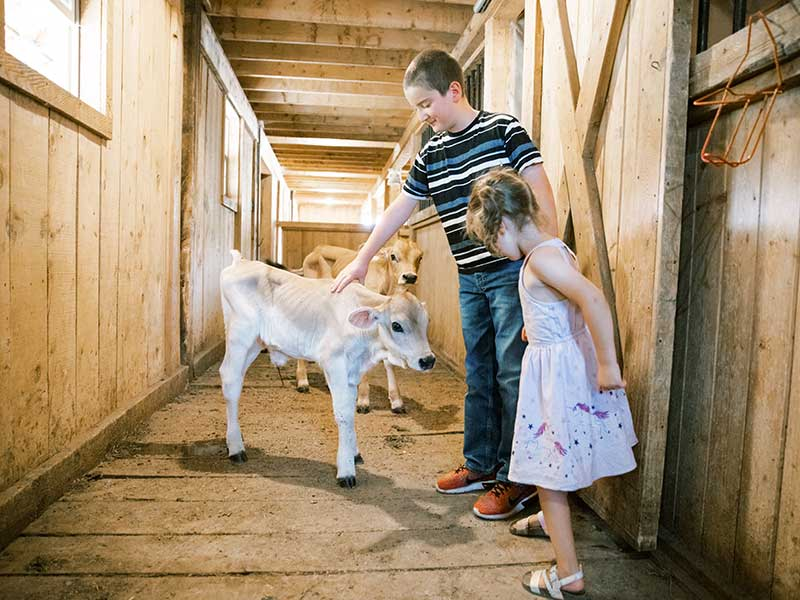 Calves at Gold Creek Farms